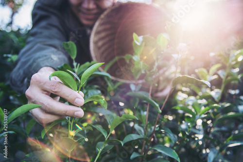 Foto auf Leinwand Rosa hell Man harvest / pick fresh green tea leaves at high land tea field in Chiang Mai Thailand - local people with agriculture in high land nature concept