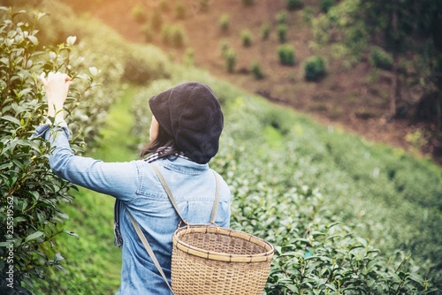 Poster Olive Woman harvest / pick fresh green tea leaves at high land tea field in Chiang Mai Thailand - local people with agriculture in high land nature concept