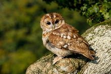 Tawny Owl (Strix Aluco) Sittin...