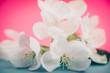 Apple blossoms over blurred color background