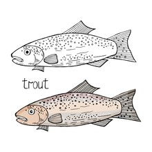 Vector Hand Drawn Trout Fish Black And White And Color Isolated On White Background. Trout Fish.