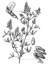Alfalfa (Medicago Sativa) / Vintage Illustration From Meyers Konversations-Lexikon 1897
