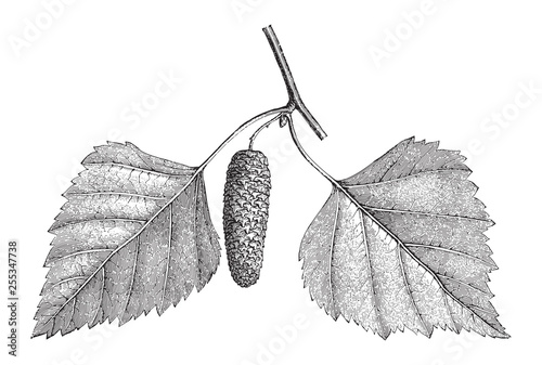 Fotografie, Obraz Betula pendula - Silver Birch - Vintage illustration from Meyers Konversations-L