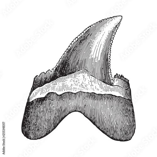 Shark tooth - Carcharodon heterodon (Tertiary period) / Vintage illustration fro Poster Mural XXL