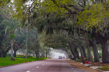 Spanish Moss And Oak Trees In Venice