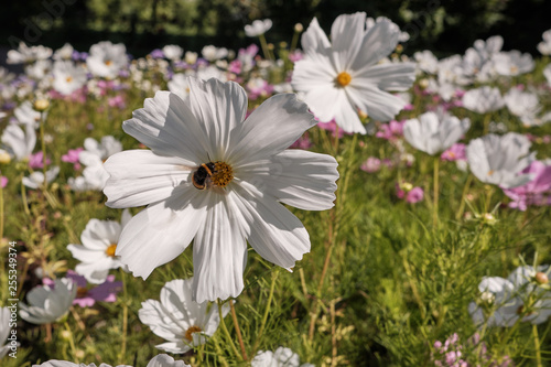 Cosmea Or Cosmos Lat Cosmos Is A Genus Of Annual And Perennial