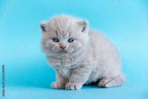 Brytyjski kotek na niebieskim tle
