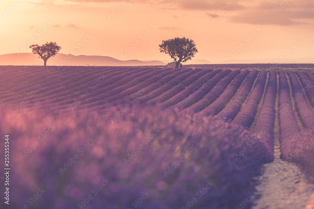 Fototapety, obrazy: Lavender field in Provence, France. Blooming violet fragrant lavender flowers with sun rays with warm sunset sky. Spring summer beautiful nature flowers, idyllic landscape. Wonderful scenery