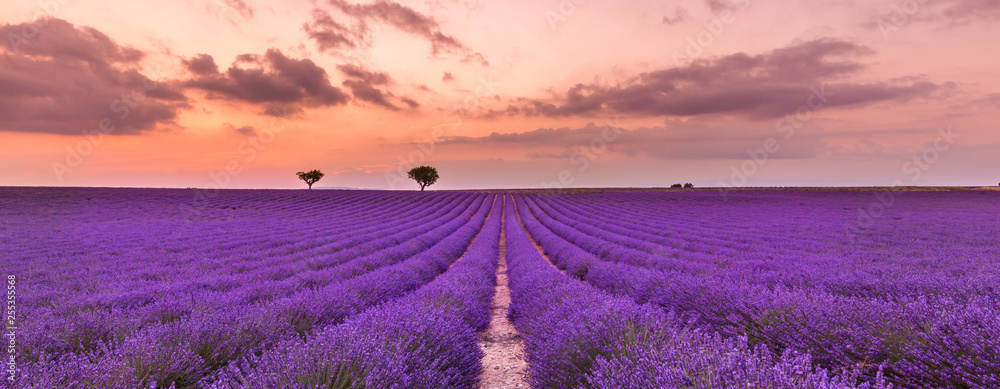 Fototapety, obrazy: Violet lavender bushes. Beautiful colors purple lavender fields near Valensole, Provence in France, Europe
