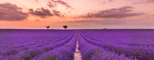 Violet Lavender Bushes. Beautiful Colors Purple Lavender Fields Near Valensole, Provence In France, Europe