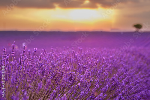Photo Stands Eggplant Lavender field in Provence, France. Blooming violet fragrant lavender flowers with sun rays with warm sunset sky. Spring summer beautiful nature flowers, idyllic landscape. Wonderful scenery