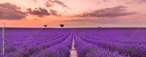 Prune Violet lavender bushes. Beautiful colors purple lavender fields near Valensole, Provence in France, Europe