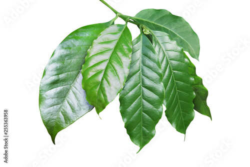 Fotografía  Fresh Coffee Leaves Isolated on White Background
