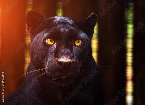 Photo Stands Panther Beautiful black Panther