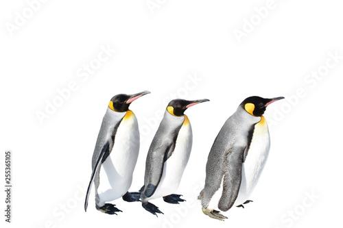 Foto auf Gartenposter Pinguin emperor penguin parade on white background