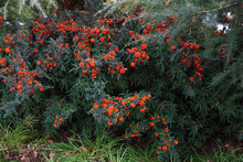 Red Berries Of Pyracantha Coccinea