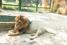 Male Lion Lying Down In A Zoo