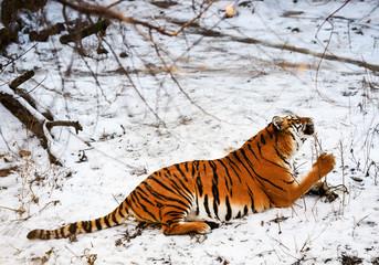 Piękny tygrys Amur na śniegu. Tygrys zimą. Scena przyrody z niebezpieczeństwem zwierząt.