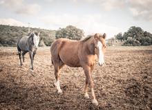 Two Horses Walking In The Field