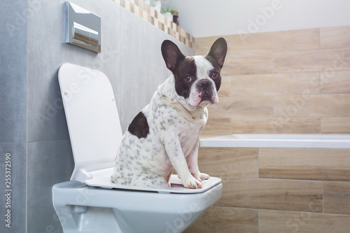 Türaufkleber Französisch bulldog French bulldog sitting on a toilet seat in bathroom