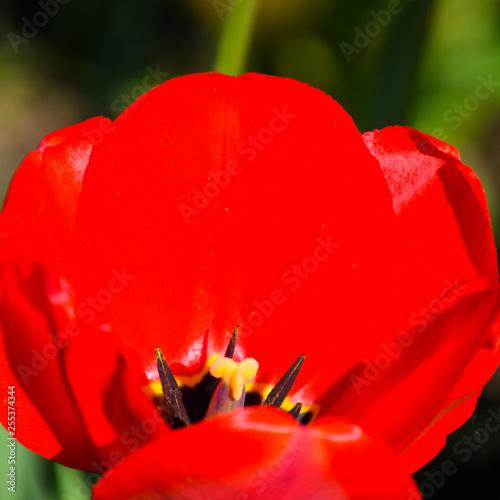 Fotografie, Obraz  Red tulips bloom in the flowerbed. Flowering of tulips.