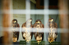 Four Hawks Sitting In A Cage