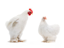 Male And Female White Hen Isol...
