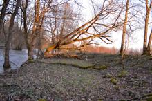 Arbres Au Bord De La Rivière, Arbres Couchés, Parc Régional Des Ballons Des Vosges, Berges De La Doller, Alsace