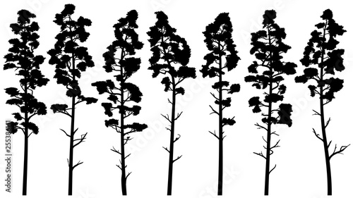 Silhouettes of tall pine trees with bare trunk (cedar). Canvas-taulu