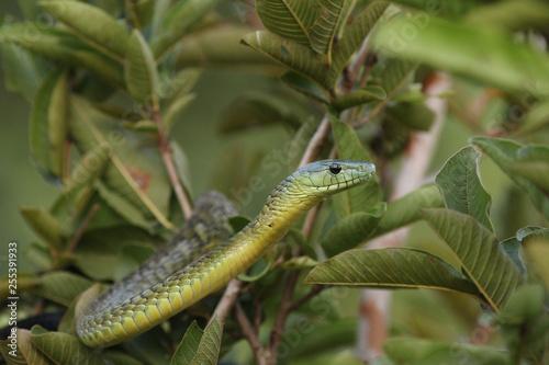Photo Jamesons green mamba hiding in the vegetation