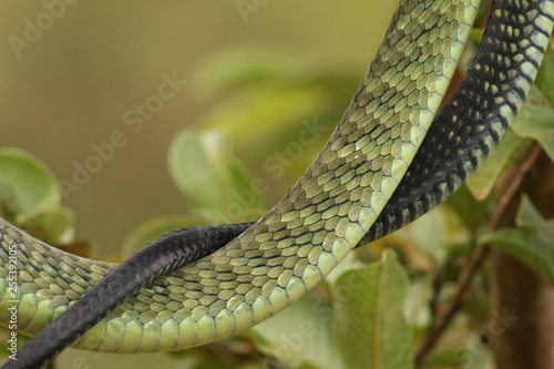 Jamesons green mamba hiding in the vegetation Canvas Print