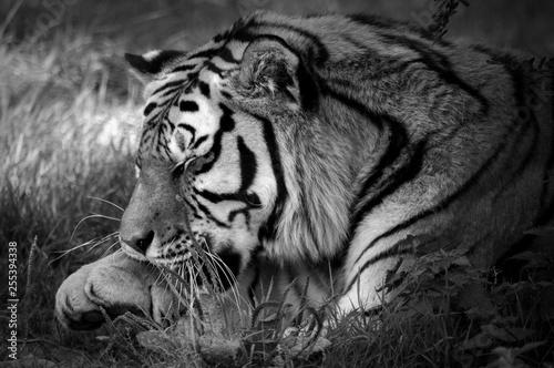 portret tygrysa