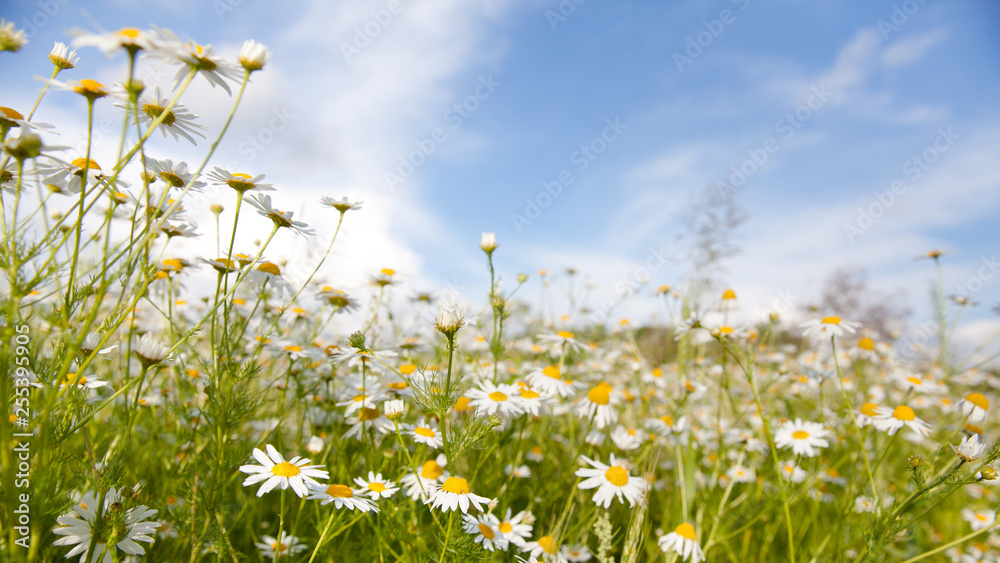 Fototapety, obrazy: Chamomile flowers in the meadow in the summer.