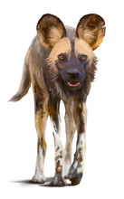 Wild African Dog. Watercolor Drawing