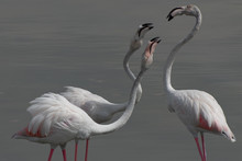 Three Flamingos Fighting At The Ras Al Khor Wildlife Sanctuary In Dubai