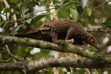 The Tree Pangolin, Also Known ...
