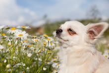 Chihuahua Dog Sniffs Chamomile Flowers.