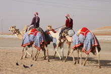 Camel Race Training In The Desert