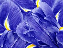 Floral Blue Beautiful Background.  Flower Composition.  Flowers Irises  Closeup. Nature.