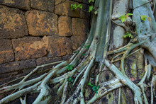 Big Root Of The Tree With Wall