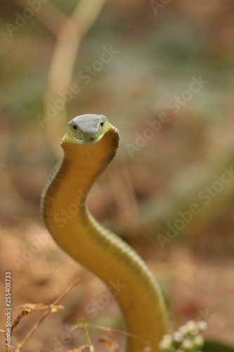 Photo Jamesons green mamba, a highly venomous species occurring in Eastern Africa, showing warning behavior