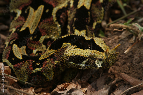 Photo  Butterfly viper, also called rhinoceros viper, river jack or arrowhead viper in its natural habitat