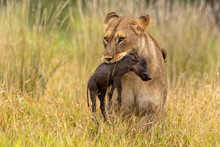 Lioness With Warthog Piglet As...