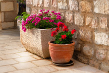 Pots With Bushes Of Blooming Plants. Landscape Design. Geranium. Bushes With Red And Purple Flowers In Light Ceramic Flower Pots.