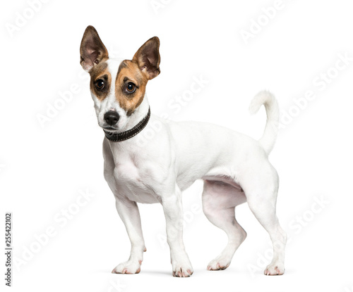 Obraz na plátně Standing Jack Russell Terrier in front of white background