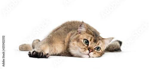 British Shorthair, 1 year old, stretching his Claws lying in fro Wallpaper Mural