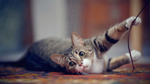 Striped Cat With White Paws, P...