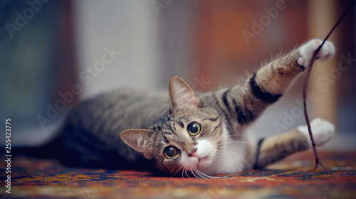 Striped cat with white paws, plays on a carpet Canvas