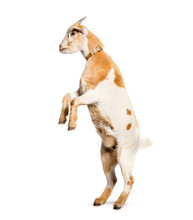 Goat On Hind Legs In Front Of ...