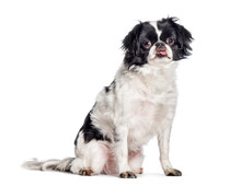 Japanese Chin, Japanese Spaniel Sitting In Front Of White Backgr
